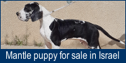 Mantle puppy for sale in Israel