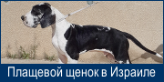Плащевой щенок в Израиле