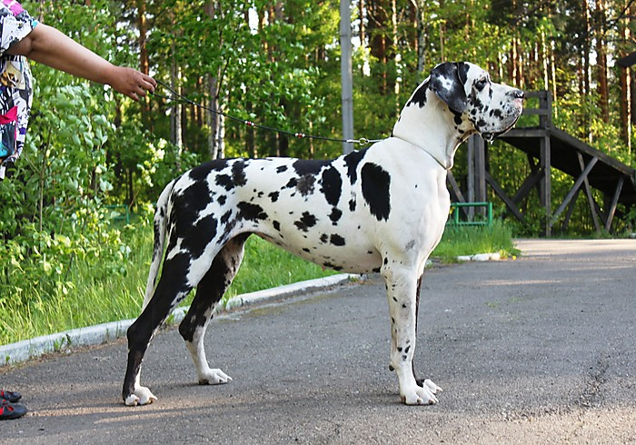 http://www.greatdane.ru/dogs/big/dog_6661_201206170416.jpg