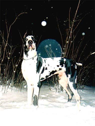 http://www.greatdane.ru/dogs/big/falko_imperia_dog3.jpg