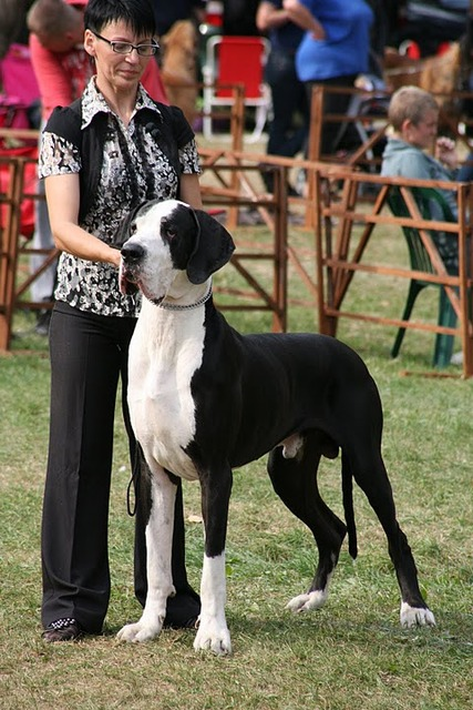Mantle Great Dane Pictures Mantle Great Danes From Other