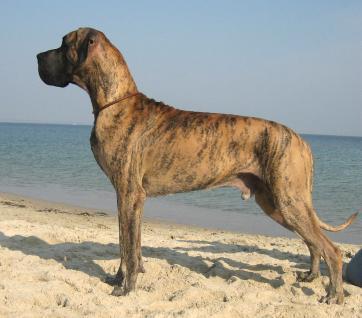 http://www.greatdane.ru/dogs/big/vshow2dog274_20061120082406.jpg