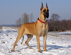 Abu Dhabi Diablo Great Dane