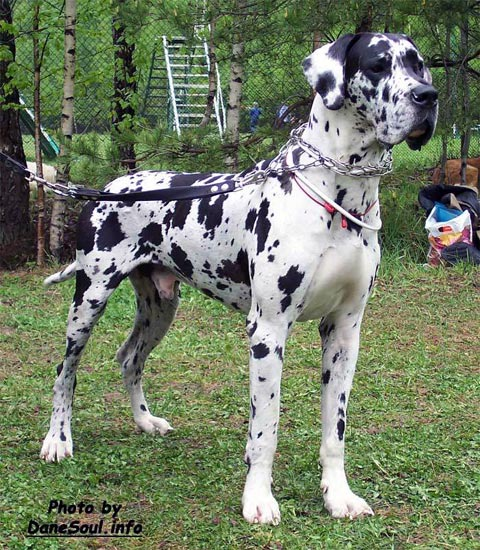 harlequin great dane the image kid has it