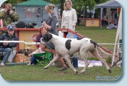 Best Veteran on special great dane show
