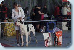 BISSPuppy-1 on Special Great Dane Show «Fauna 2012», handler Agapova Olga