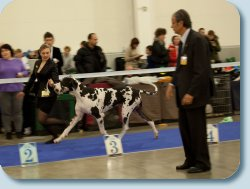 GOLD COLLAR SHOW- 2013  Champion class - Reserve Best male - 2013 from 8 participants!