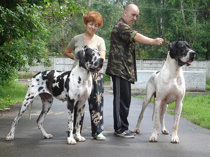 From Dead Sea Kennel :: GreatDane.Ru